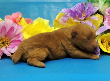 Star -  Poodle Puppy Reserved