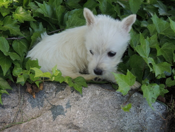 Sophie Johnson -  West Highland White Terrier Puppy Reserved
