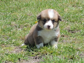 Daisey -  Pembroke Welsh Corgi Puppy Reserved