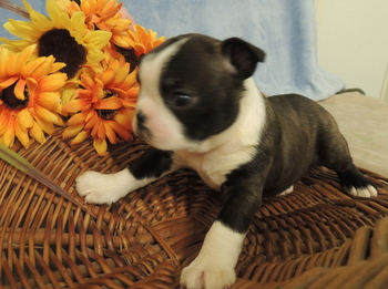 Maddy Volpe -  Boston Terrier Puppy Reserved