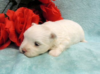 Foxy -  Maltese Puppy For Sale