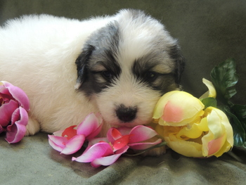 Chewy -  Great Pyrenees Puppy For Sale