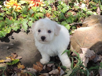 Angie -  Bichon Frise Puppy For Sale
