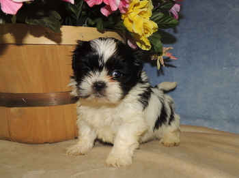 Lilly -  Shih Tzu Puppy Reserved