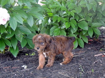 George -  Schnoodle Puppy For Sale