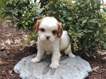 Lady Roark -  Cavalier King Charles Spaniel Puppy Reserved