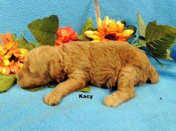 Kacy -  Poodle Puppy Reserved