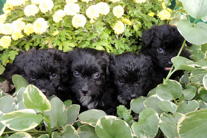 Our Litter of Papi-Poos from Magic and Little Bit