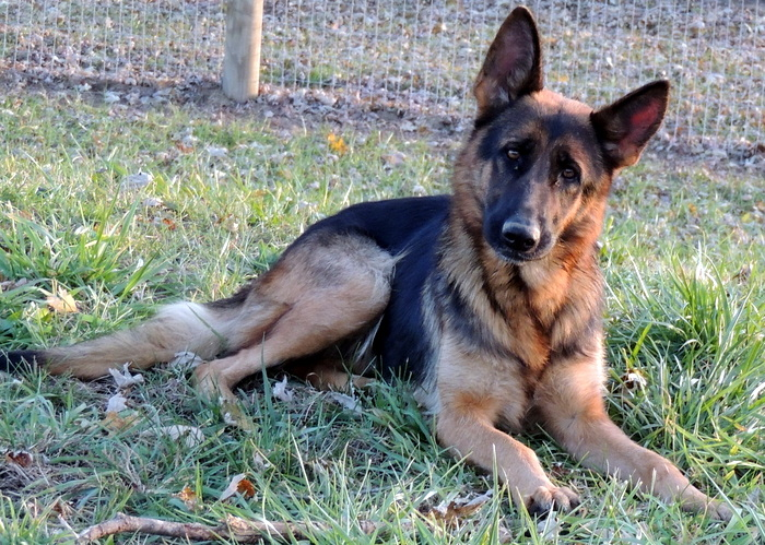 Vera, German Shepherd Dog