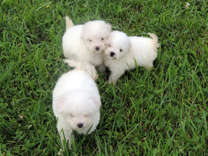 Bichon Puppies Playing, Zoe, Belle, and Sunny are the 3 females in this litter.