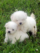 Bichon Puppies Playing