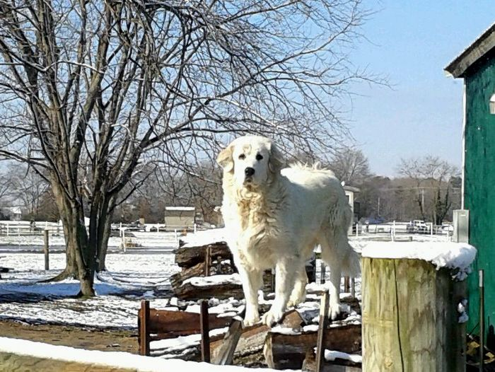 Hannah, one of our Great Pyrenees