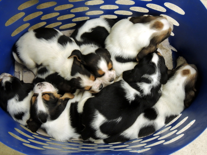 How many Basset Hound Puppies do you see?