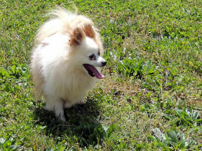 Jewel, our Pomeranian
