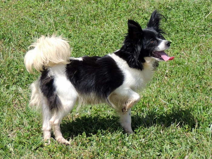 Lace, our Papillon