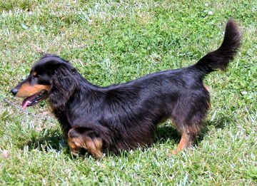 Long-Haired Miniature Dachshund