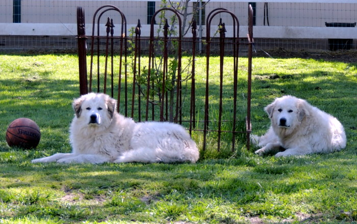 Great Pyrenees, Zowee and Louloo