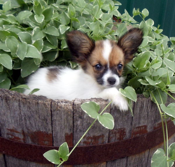 The Happy Woofer Papillon Delaware Dog Breeder